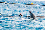 Israel, Eilat, Dolphin Reef Beach, Common Bottlenose Dolphin (Tursiops truncatus) swimming with a diver