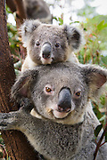 Koala <br /> Phascolarctos cinereus<br /> Mother and ten-month-old joey<br /> Queensland, Australia<br /> *Captive