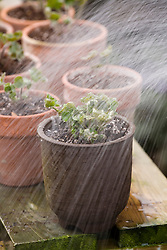 Repotting and dividing a hepatica<br /> Watering in