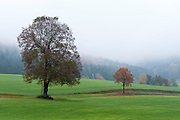 Landschaft mit Baum im Nebel, bei Hinterhermsdorf, Sächsische Schweiz, Elbsandsteingebirge, Sachsen, Deutschland | landscape and tree in fog near Hinterhermsdorf, Saxon Switzerland, Saxony, Germany