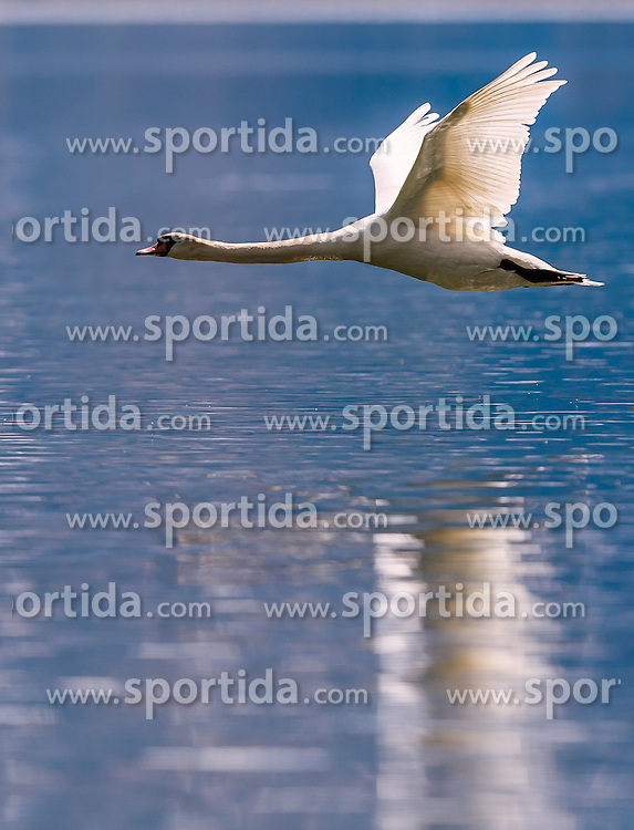 THEMENBILD - ein Hoeckerschwan im Flug, aufgenommen am 30. April 2016, am Zeller See, Zell am See, Oesterreich // a Mute Swan in flight over the Lake Zell, Zell am See, Austria on 2016/04/30. EXPA Pictures © 2016, PhotoCredit: EXPA/ JFK
