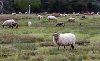 HAVELTE - Golf Club Havelte. De overburen van de golfclub zijn deze schapen.  COPYRIGHT KOEN SUYK