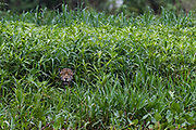 A jaguar, Panthera onca, hiding in the tall grass, Cuiaba River, Pantanal, Mato Grosso, Brazil.