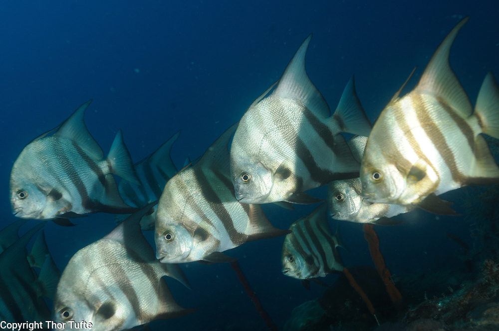 Atlantic Spadefish on the south coast of The Dominican Republic.