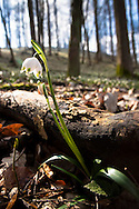 Europe, Germany, North Rhine-Westphalia, Sauerland region, Spring Snowflakes (lat. Leucojum vernum) in an oak and hornbeam forest near Plettenberg, nature reserve Am Schlehen.<br /> <br /> Europa, Deutschland, Nordrhein-Westfalen, Sauerland, Maerzenbecher (lat. Leucojum vernum) auch Fruehlings-Knotenblume oder Grosses Schneegloeckchen genannt in einem Eichen-Hainbuchenwald bei Plettenberg, Naturschutzgebiet Am Schlehen.