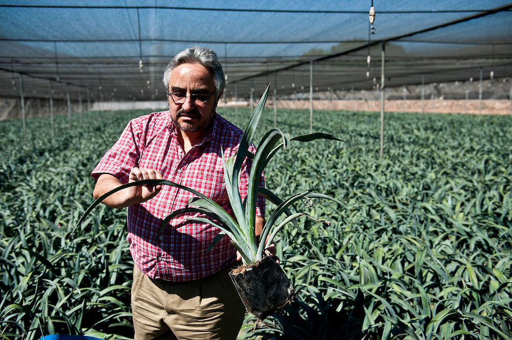"Dr. José Ignacio del Real Laborde, Technical Director at Casa Sauza, inspects young blue agave plants, called ""hijuelos,"" at the company's nursery. Sauza's nursery raises the hijuelos until they are old enough for transplantation. There are roughly 500,000 plants hijuelos in Sauza's nursery at any given time."