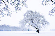 Snow and tree in Ashton Court Estate, near bristol at daybreak in January 2010