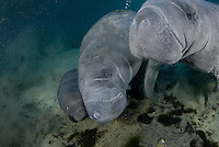 Florida manatee, Trichechus manatus latirostris, a subspecies of the West Indian manatee, endangered. February 29, 2008, rare series of the documented first day of a newborn male manatee calf that takes place out front of Three Sisters in the shallow waters in front of the manatee sanctuary. The rare event begins about an hour after sunrise. No other people, besides myself, came for almost an hour so this depicts natural manatee behaviors. It was an unusually cold, late winter morning. The newborn is touching snouts with his new mother, with the escort female on our right.  It is thought this escort female is a relative, attentive friend or a hopeful adoptive mother. Horizontal orientation with mixing blue, aqua and green waters. Three Sisters Springs, Crystal River National Wildlife Refuge, Kings Bay, Crystal River, Citrus County, Florida USA.