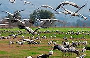 Stork at the Hula lake, Northern Israel