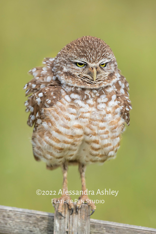Burrowing owls (Athene cunicularia) can appear larger than actual size when exhibiting the behavior of ruffling feathers.