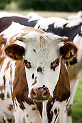 Brown and white French Normandy cow in rural Normandy, France