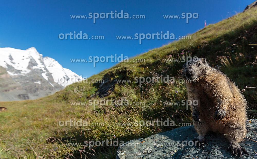 THEMENBILD - Murmeltier auf der Grossglockner Hochalpenstrasse, dahinter der Grossglockner, Heiligenblut, Oesterreich, aufgenommen am 31. Juli 2015 // a Marmot in Front of the Grossglockner Mountain on the Grossglockner High Alpine Road, Heiligenblut, Austria on 2015/07/31. EXPA Pictures © 2015, PhotoCredit: EXPA/ JFK