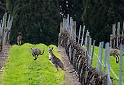 The inevitable Roos in the vineyards
