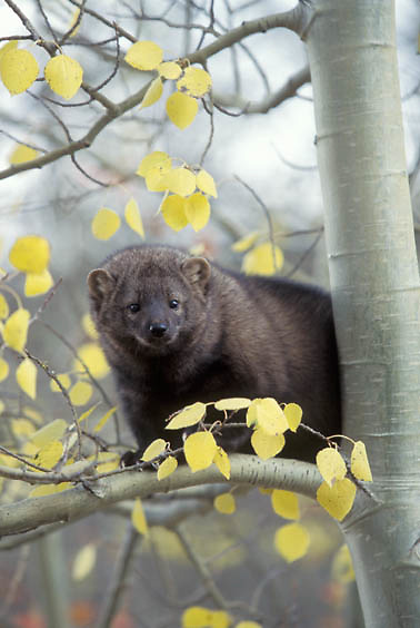 Fisher, (Martes pennanti) Montana. In aspen tree. Fall. Captive Animal.