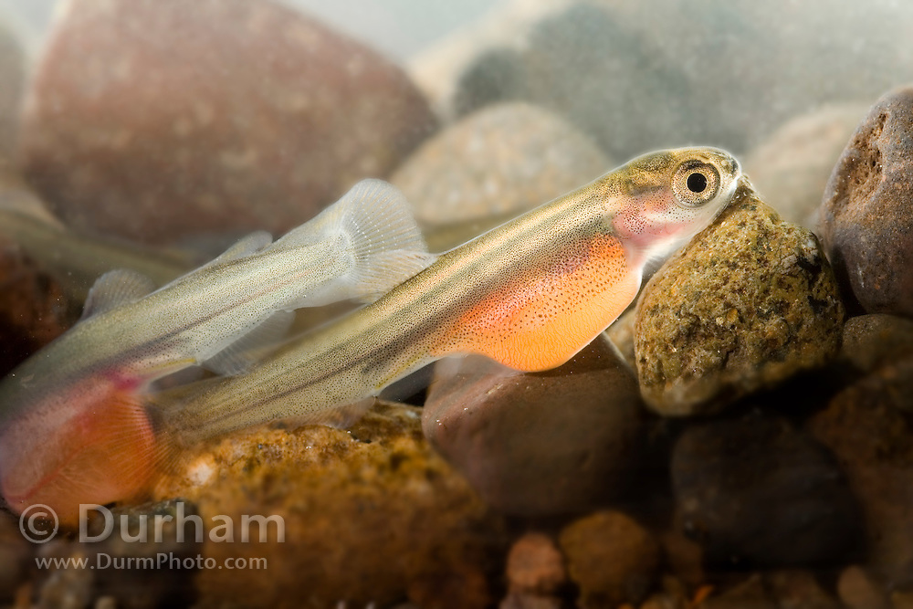 A coho slamon (Oncorhynchus kisutch) alevin, or yolk-sac fry 10 days after hatching. Alevin remain in the redd after hatching and hide in the gravel and rocks, often working deeper into the substrate for protection. After they absorb the remaining nutrients from the yolk, they must leave the redd to find food.