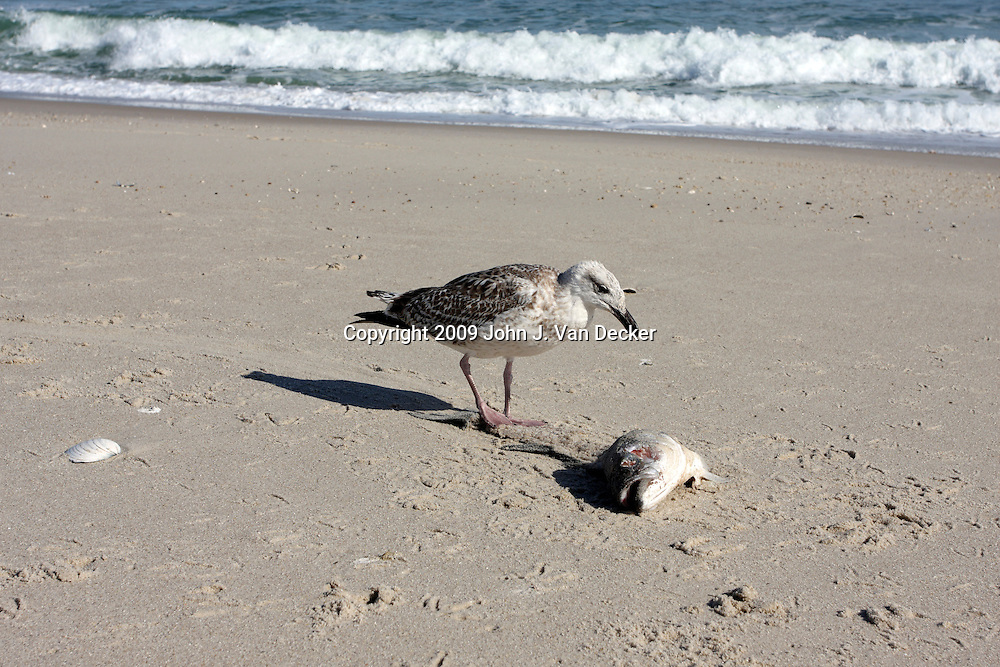 Seagull eating fish head on beach, Lavalette, New Jersey