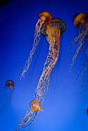 A group of Sea Nettle Jellyfish heading for the surface