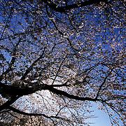 Japan, Saitama, Kumagaya. April/02/2006...A lone person enjoys an early morning walk beneath Japan's Spring cherry blossoms.