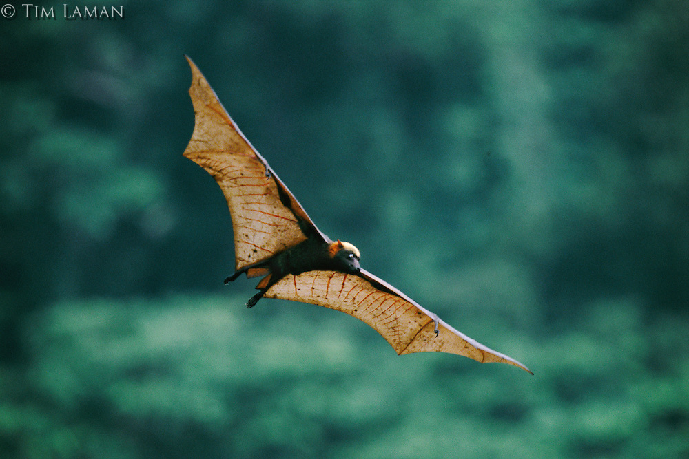 An endangered golden-crowned flying fox (Acerodon jubatus) in flight.  .Subic Bay, Philippines.