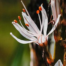 Xanthorrhoeaceae, Grasboomfamilie