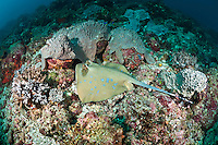 Stingrays are armed with two venomous barbs on their tail.  They are bottom feeders that hunt for prey buried in sand and rubble.  The Komodo National Park is home to the unique Komodo Dragon, but also has some remarkable marine life.  Cold upwellings from the Indian Ocean to the south bring plenty of nutrients, providing food for a spectacular array of different species.