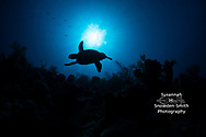 "Grand Cayman: ""Icarus"" - In early morning light, a hawksbill turtle is cast in silhouette as it cruises over Grand Cayman's deep wall."