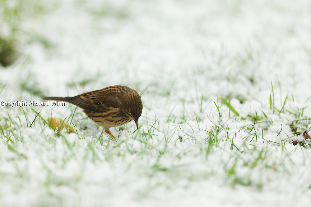 Meadow pipit peering amongst the grass looking for food in the snow.