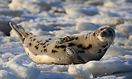 Just below Chatham Light on South Beach, this immature harp seal had hauled out to rest.