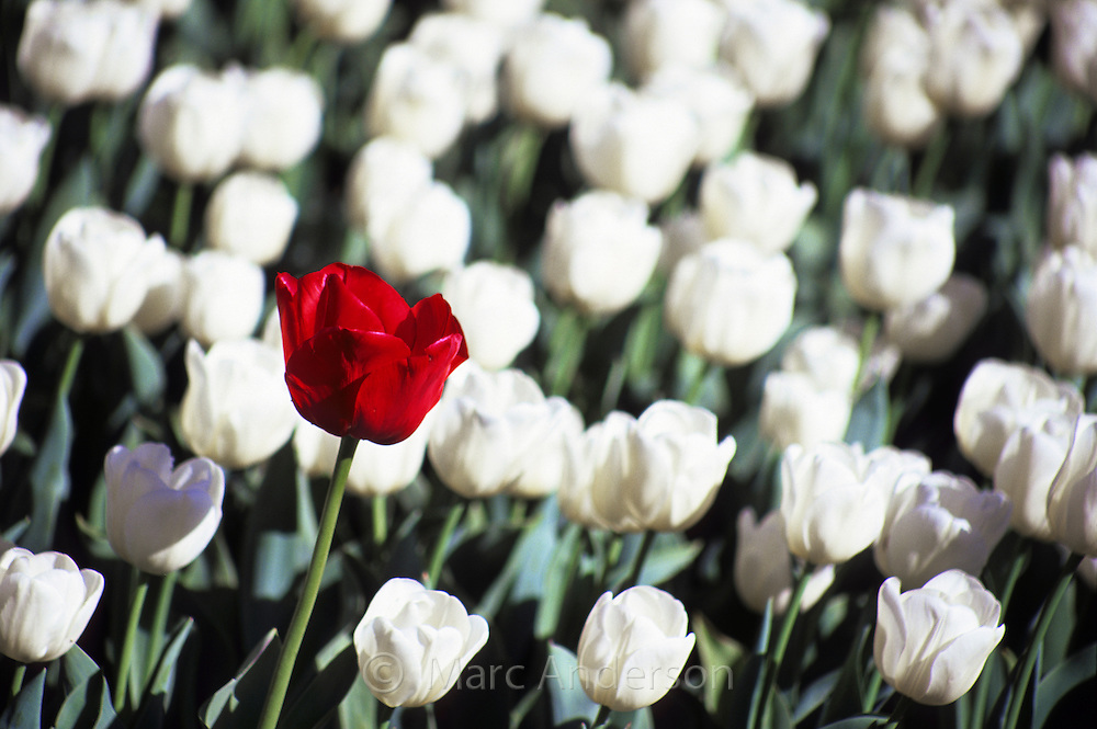 Red & white tulips.