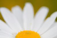Leucanthemum adustum; Mountain daisy, Malbun, Liechtenstein