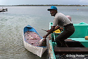 fisherman Phillip Young, holder of a special fishing permit, pulls a fish from a canoe filled with Nassau groupers, Epinephelus striatus ( Endangered Species ) taken with fish traps placed at a spawning aggregation site at  Lighthouse Reef Atoll, Belize, Central America ( Caribbean Sea )