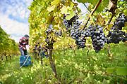 Nederland, Groesbeek, 1-10-2012Bij de biologische wijngaard de Colonjes zijn vrijwilligers bezig met het binnenhalen van de de druivenoogst van dit seizoen. Door het mooie najaarsweer kunnen de druiven goed suiker aanmaken en is de oogst van mooie kwaliteit. Deze week is het nationale wijnweek, en Groesbeek profileert zich als nationaal wijndorp. Hier bevinden zich verschillende wijngaarden, wijnboeren, waarbij de Colonjes het voortouw nam.Foto: Flip Franssen/Hollandse Hoogte