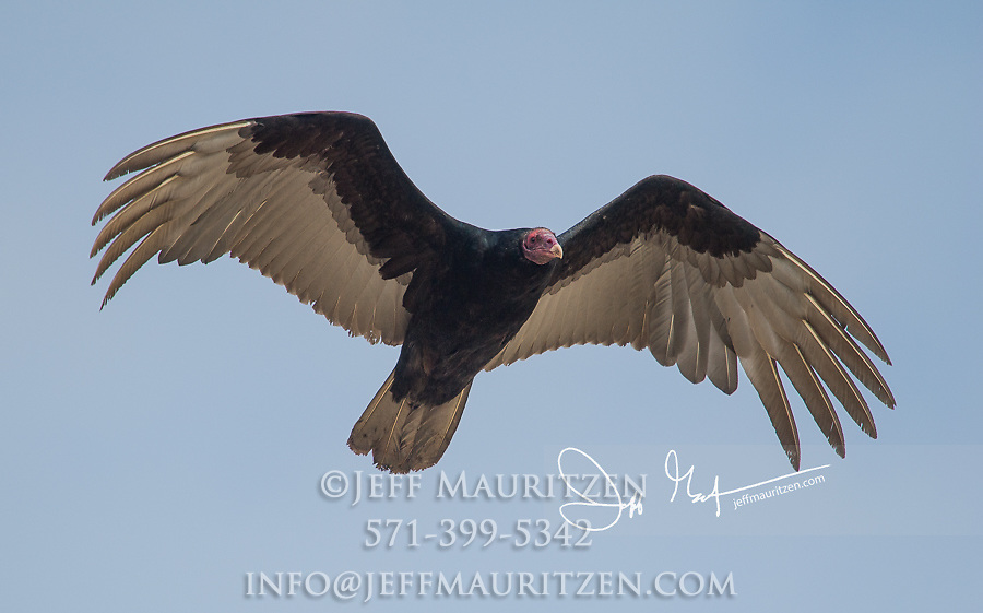 Turkey vulture (Cathartes aura) in flight over Laguna San Rafael National Park, Chile.