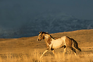 As a storm roils in the distance, the stallion, Traveler, trots back to his bachelor companions.