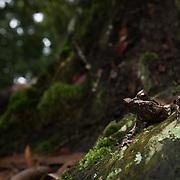 Greater Stream Horned Frog (Megophrys major) in Kaeng Krachan national park, Thailand