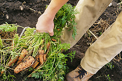 July 21, 2019 - Person Pulling Carrots Out Of Garden (Credit Image: © Bilderbuch/Design Pics via ZUMA Wire)