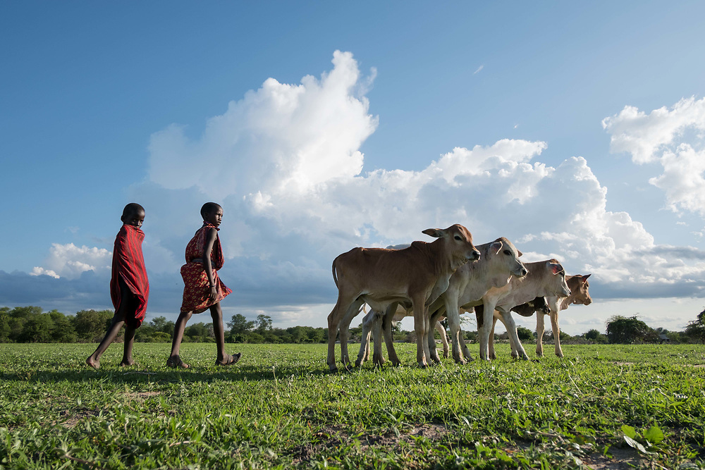 """Kilosa District, Tanzania - 15.03.17  - Young boys herd Huruma Ole Kalaita's cattle in Kilosa District on March 15, 2017. """"Cattle are our resource. We lost lots of them and the ones that remain are very thin and sick,"""" says Ole Kalaita, who saw 23 of his cattle die in recent months. """"If the rain stops now, it is death. People will die."""" Parts of Tanzania, including Kilosa District, had been heavily impacted by drought since 2016. While recent rains have provided some relief, herds are depleted and sickly. Food insecurity continues with many families reporting they have been missing meals daily. Photo: Daniel Hayduk"""