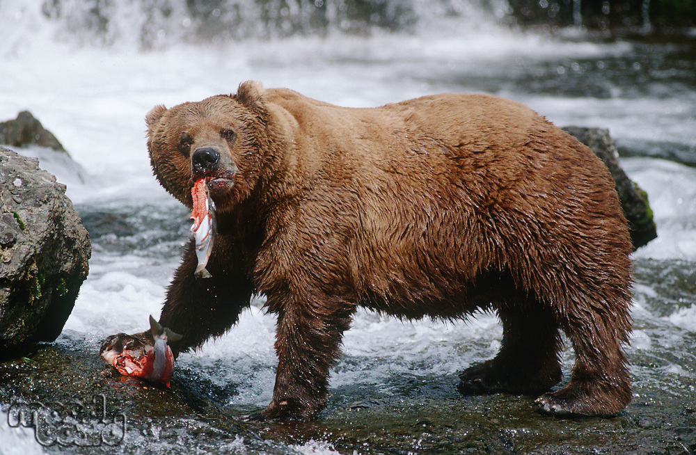 USA Alaska Katmai National Park Brown Bears eating Salmon river side view