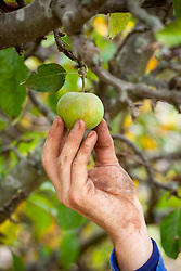 Picking an apple. Malus domestica