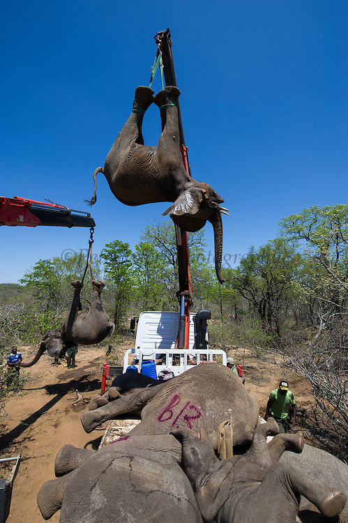 Tranquilized elephants being loaded by crane<br /> & capture team<br /> (Loxodonta africana)<br /> Elephants darted from helicopter to be relocated.<br /> Zimbabwe