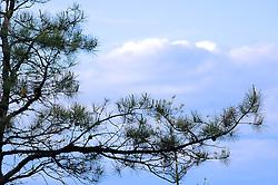 Pine Braches with Sky