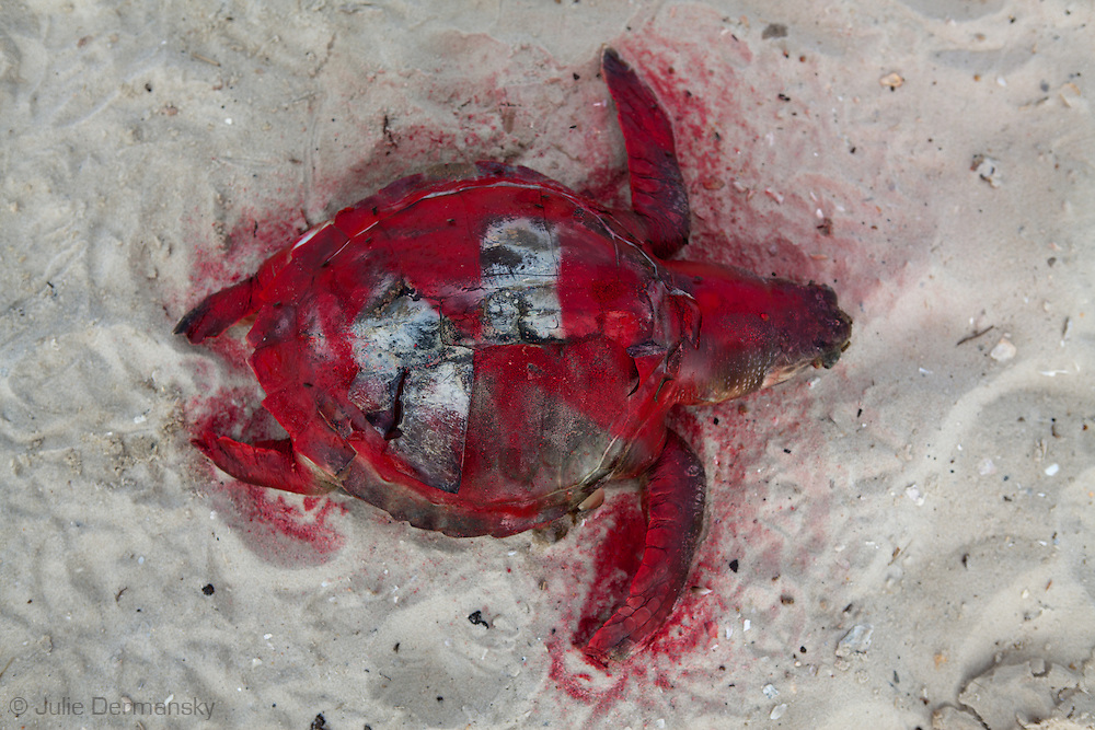 Dead sea turtle on the beach in Pass Christian Mississippi,  painted red by the Institute for the Marine Mammal Studies so it wont be counted a second time, left on the beach until a crew comes to remove it. <br /> An unprecedented number of dead young  Kemp's Ridley and Loggerhead  sea turtles have washed up on the shores of Mississippi along the Gulf of Mexico starting almost a year after the BP oil spill. <br /> Test are being done on the high number of turtle and dolphin corpses found on the beaches but results have not been released.