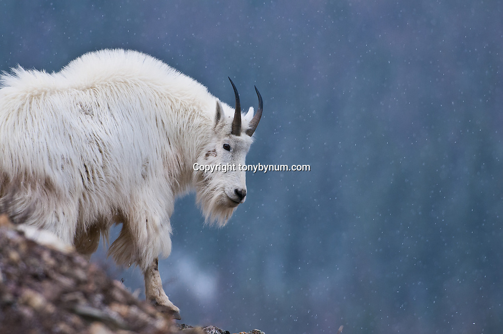 mountain goat billy on rock ledge snowing with blue background