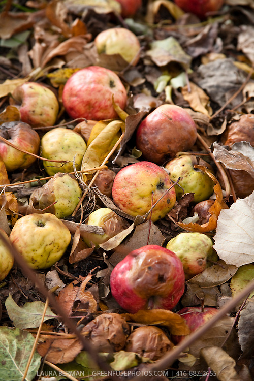 Fallen apples gently rotting into in a pile of autumn leaves.