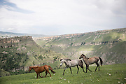 Domesticated horses run free on grassy mountain slopes outside the town of Khunzakh.<br /> <br /> Located in the North Caucasus, bordering the Caspian Sea and a Republic of Russia, Dagestan is home to almost 3 million mostly muslim people. Ethnically very diverse, it is made up of several dozen ethnic groups and is Russia's most heterogeneous republic, where no ethnicity forms a majority.<br /> <br /> From 2000 until late 2012 Dagestan was subject to a violent Islamic separatist movement that spilled over from neighbouring Chechnya but has now been largely controlled by the Russian Government.<br /> <br /> Now relatively peaceful Dagestan (which means Land of Mountains) remains one of Russia's untouched treasures receiving few visitors. Due to its relative isolation, this beautiful mountainous region has maintained its traditional cultures that have been lost in many other parts of Russia.