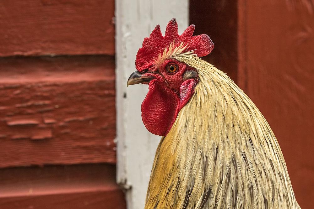 Rooster at Schumacher Farm Park