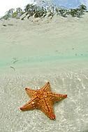 Seastar on a sandy bottom.  San Blas Islands.