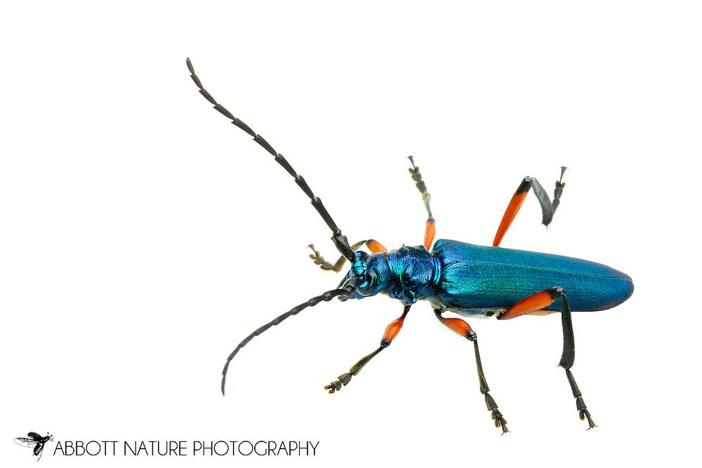 Bumelia Borer (Plinthocoelium suaveolens)<br /> TEXAS: Travis Co.<br />McKinney Falls State Park; Austin<br />24.May.2012 3<br />J.C. Abbott #2594 &amp; K.K. Abbott