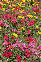 Coreopsis and Drummond Phlox field, Gonzales County, TX