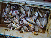 03 AUGUST 2017 - KUTA, BALI, INDONESIA: Fish caught by fishermen in outrigger canoes on Jimbrana Beach in Kuta. The beach is close to the airport and a short drive from other beaches in southeast Bali. Jimbrana was originally a fishing village with a busy local market. About 25 years ago, developers started building restaurants and hotels along the beach and land prices are rising. The new emphasis on tourism is changing the nature of the area but the fishermen are still busy very early in the morning.     PHOTO BY JACK KURTZ